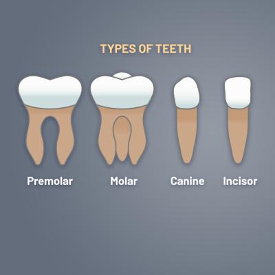 teeth-types